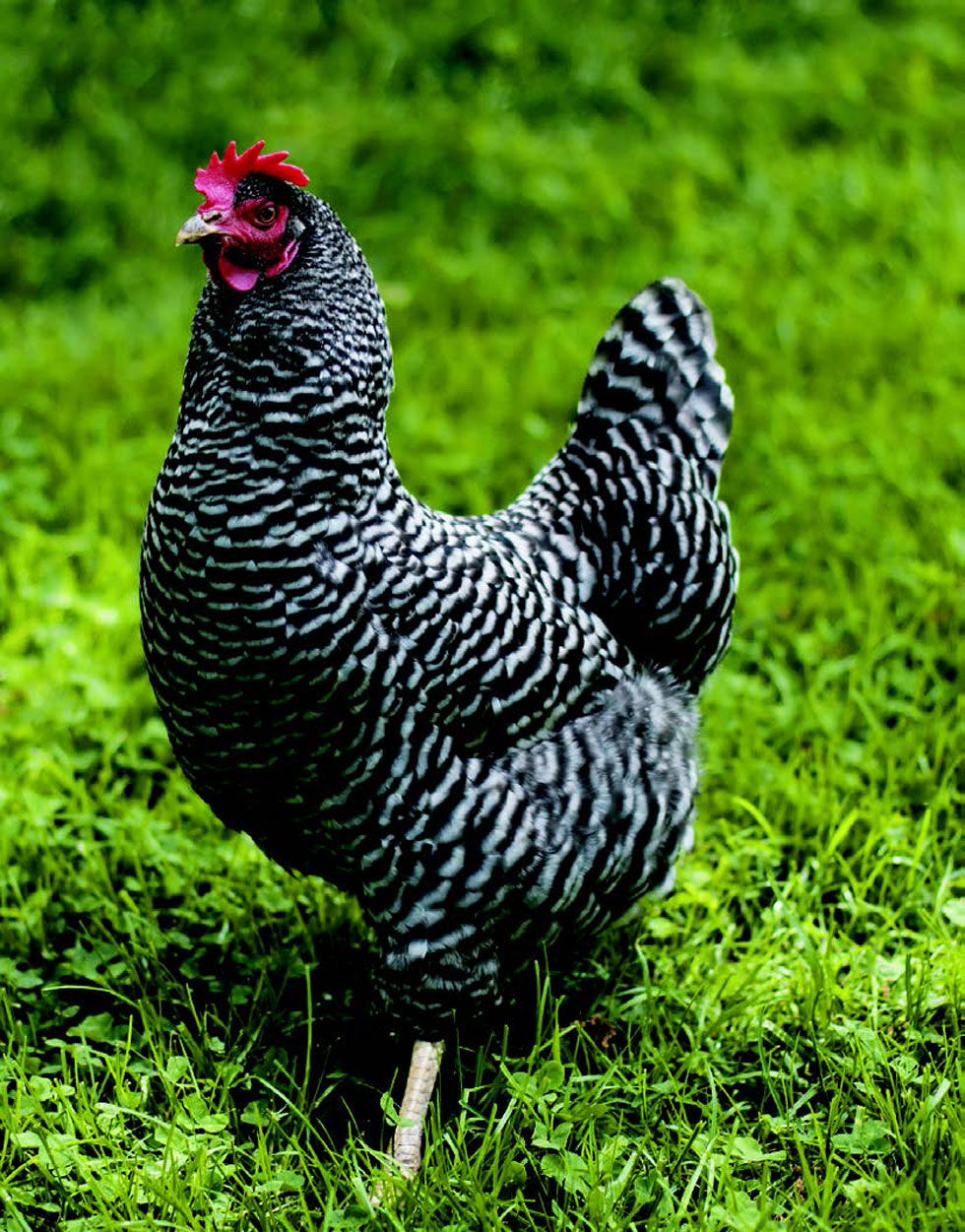 Chicken breeds for eggs - Chicken Breeds For Eggs 3
