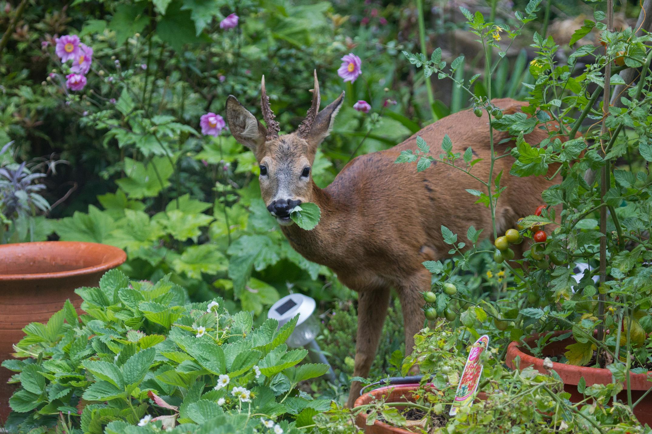 Deer Resistant Garden How To Keep Deer Out Of Garden