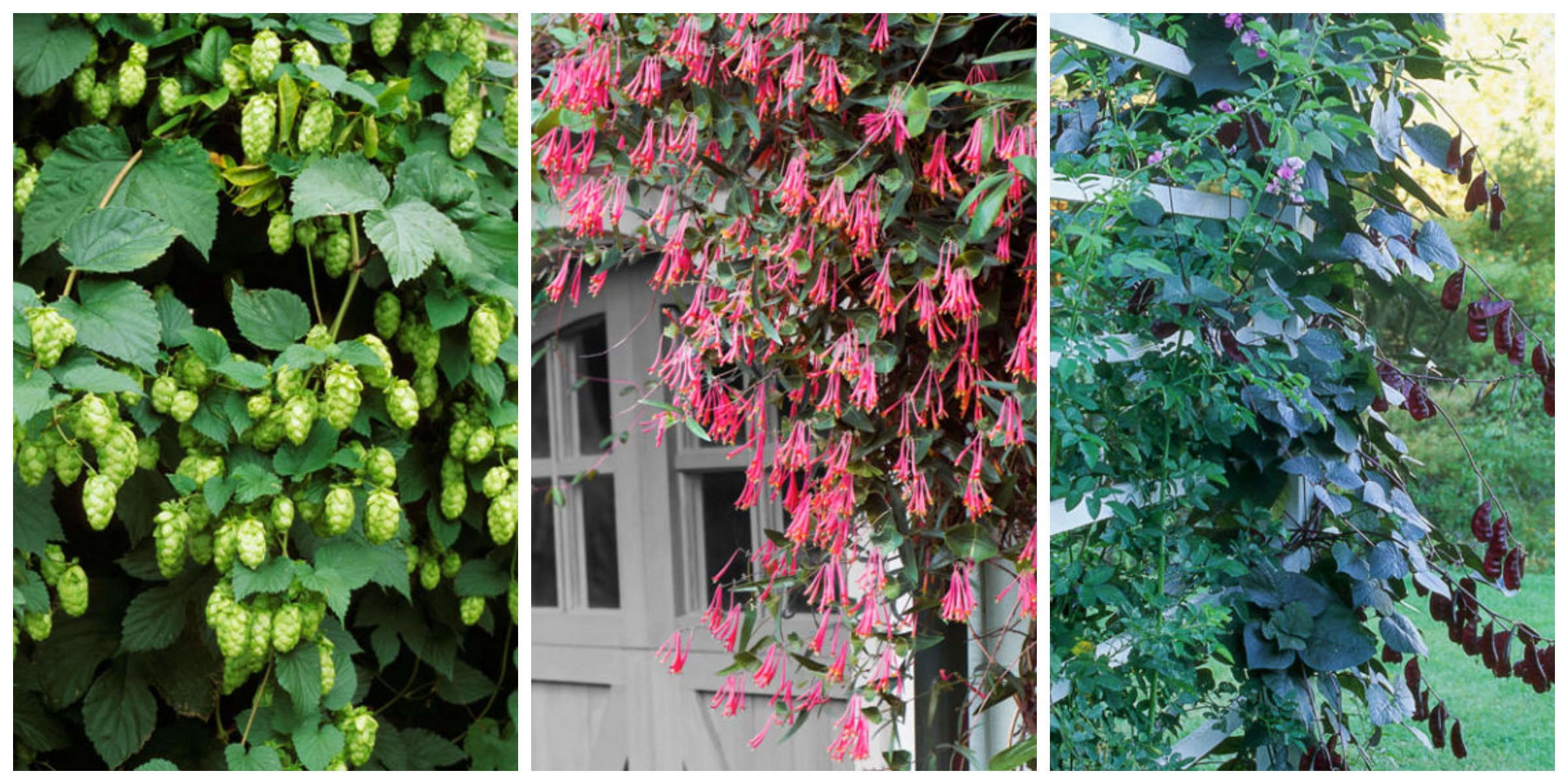 10 fast growing flowering vines best wall climbing vines for Fast growing fence covering plants