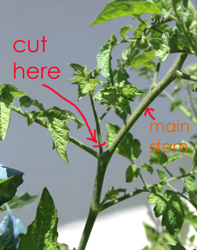 how to grow tomatoes in containers  best tips for growing tomatoes, Natural flower