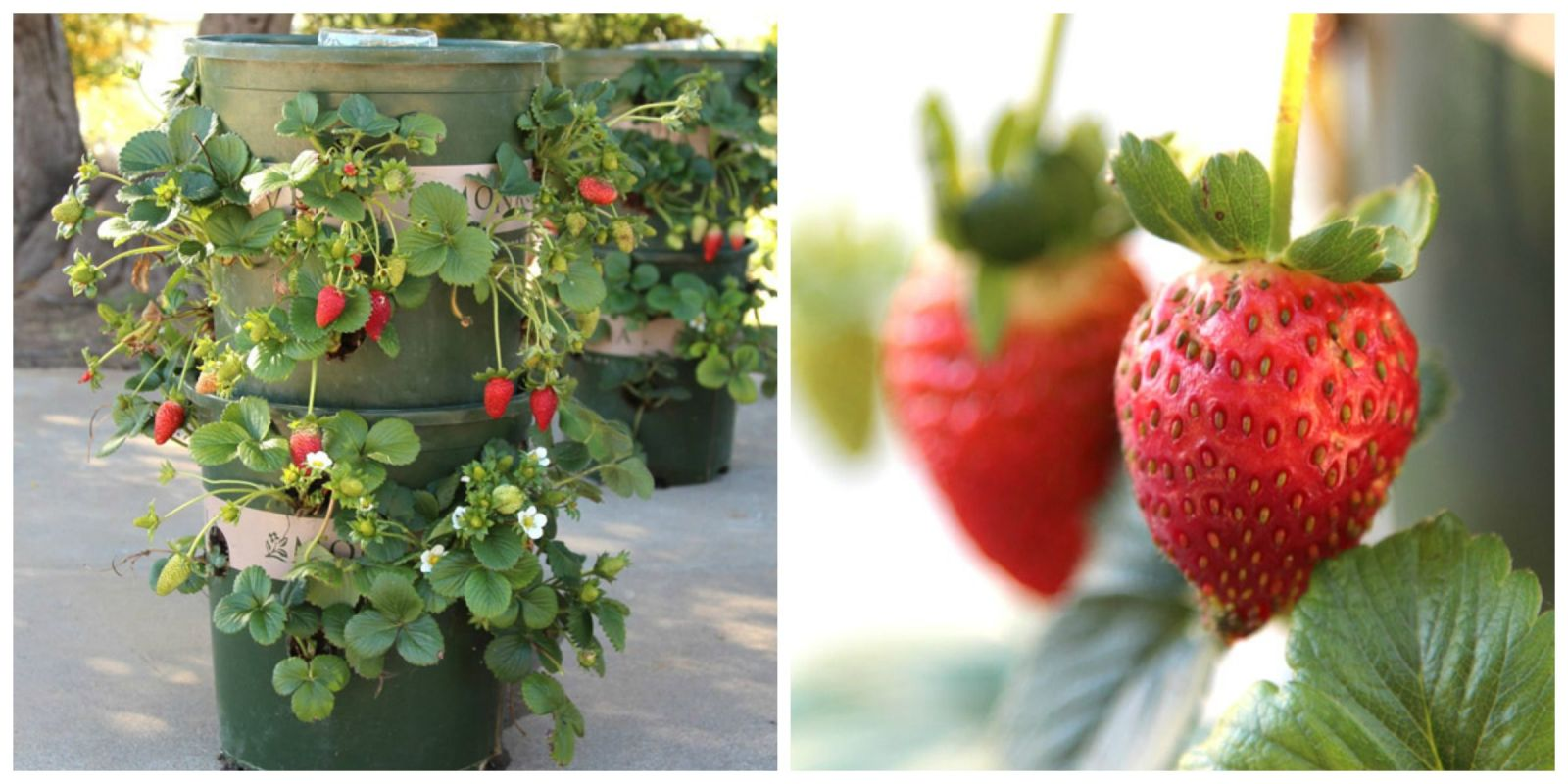 Strawberry Garden Ideas want to grow so many strawberries in so little space try one of these vertical Growing Strawberries Make Your Own Strawberry Planter