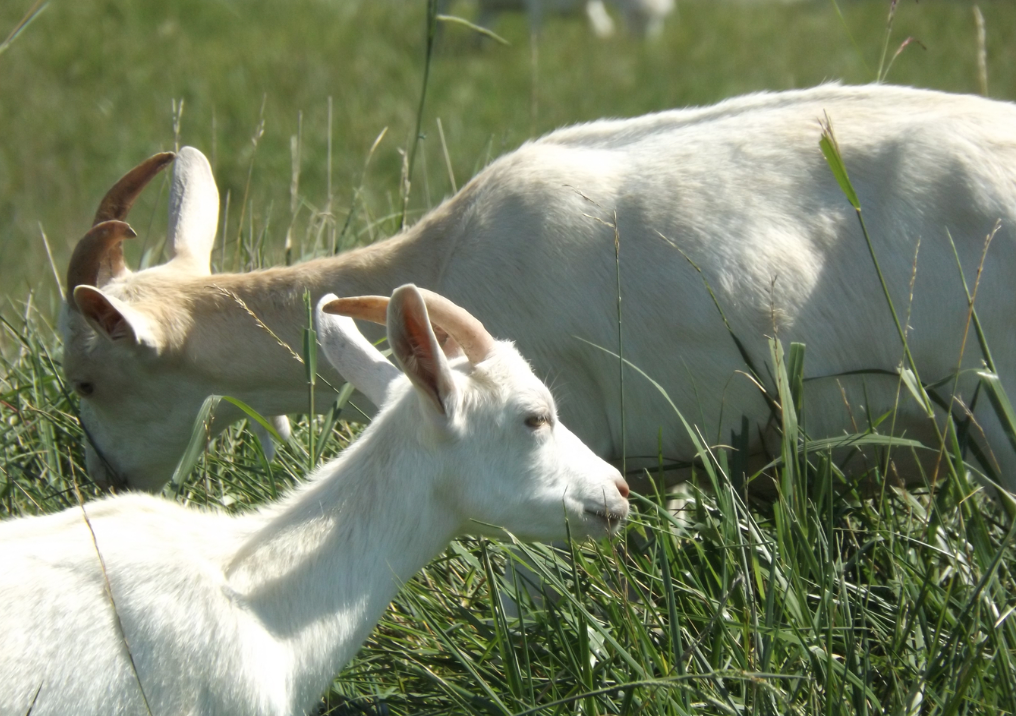 essay on goat for kids New kids reference goats cheese making cheese where to buy cheese aging cave for sale bucks for sale does for sale goat cheese for sale-cheese order form nubian goat doe born: 5/16/2007 sire: copper hill breakaway's blazer.