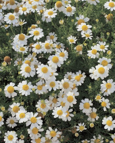 """Though a symbol of rest and relaxation today (mmm, chamomile tea), this flower signified """"energy in adversity"""" in the 19th century."""