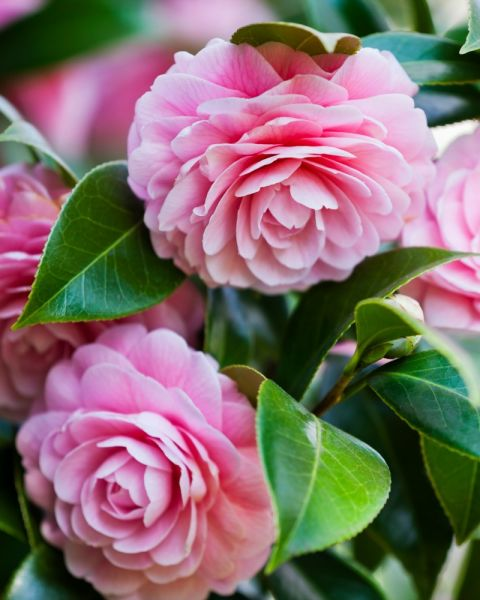 "These impressive, lush flowers were beloved by the Victorians, and were given the meaning ""my destiny is in your hands."""