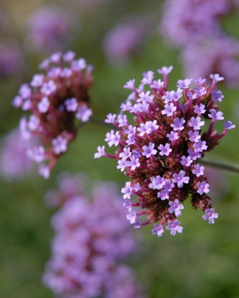 "Due to their prominent place in religious ceremonies throughout history, these petite purple flowers mean ""pray for me."""