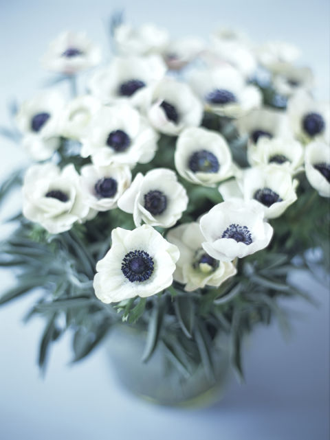 """These quirky blooms take their name from the Greek word for wind (anemos) since their lives are so short. The Victorians offered anemones the meaning """"forsaken."""""""