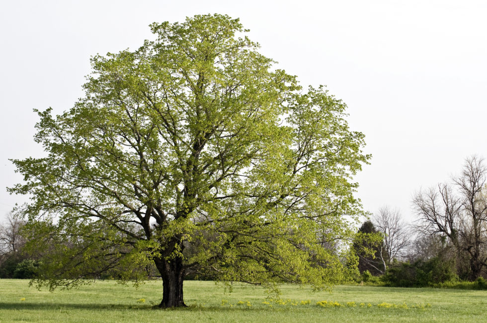 If you have this type of tree in your yard, you might enjoy a better sense of balance and promise in your life.