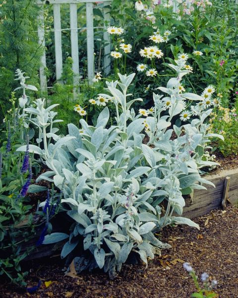 These silvery fuzzy leaves make for whimsical garden edging, especially since deer don't like to eat them.