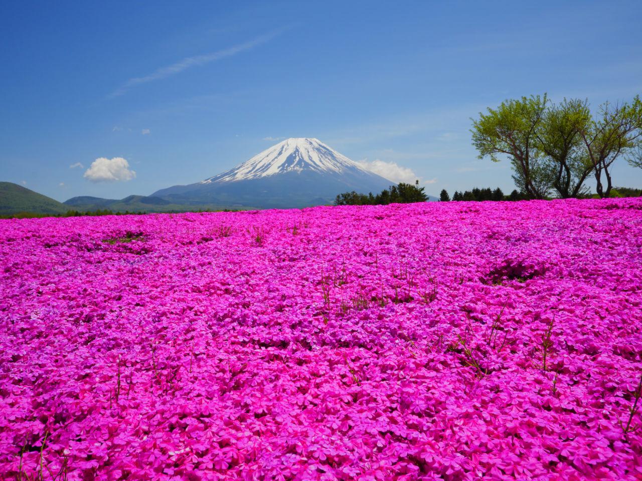 Japan Flower Fields Oversixty