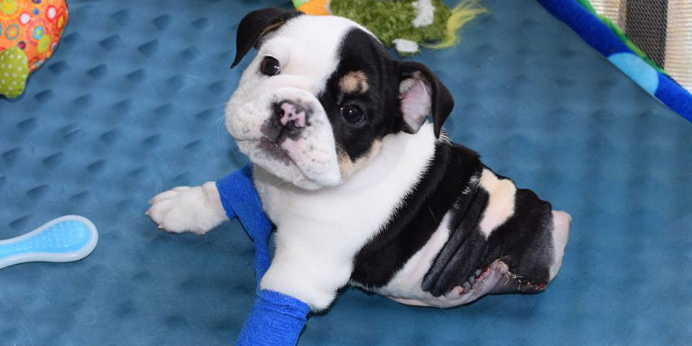 bulldog puppy with deformities and amputated legs   bonsai