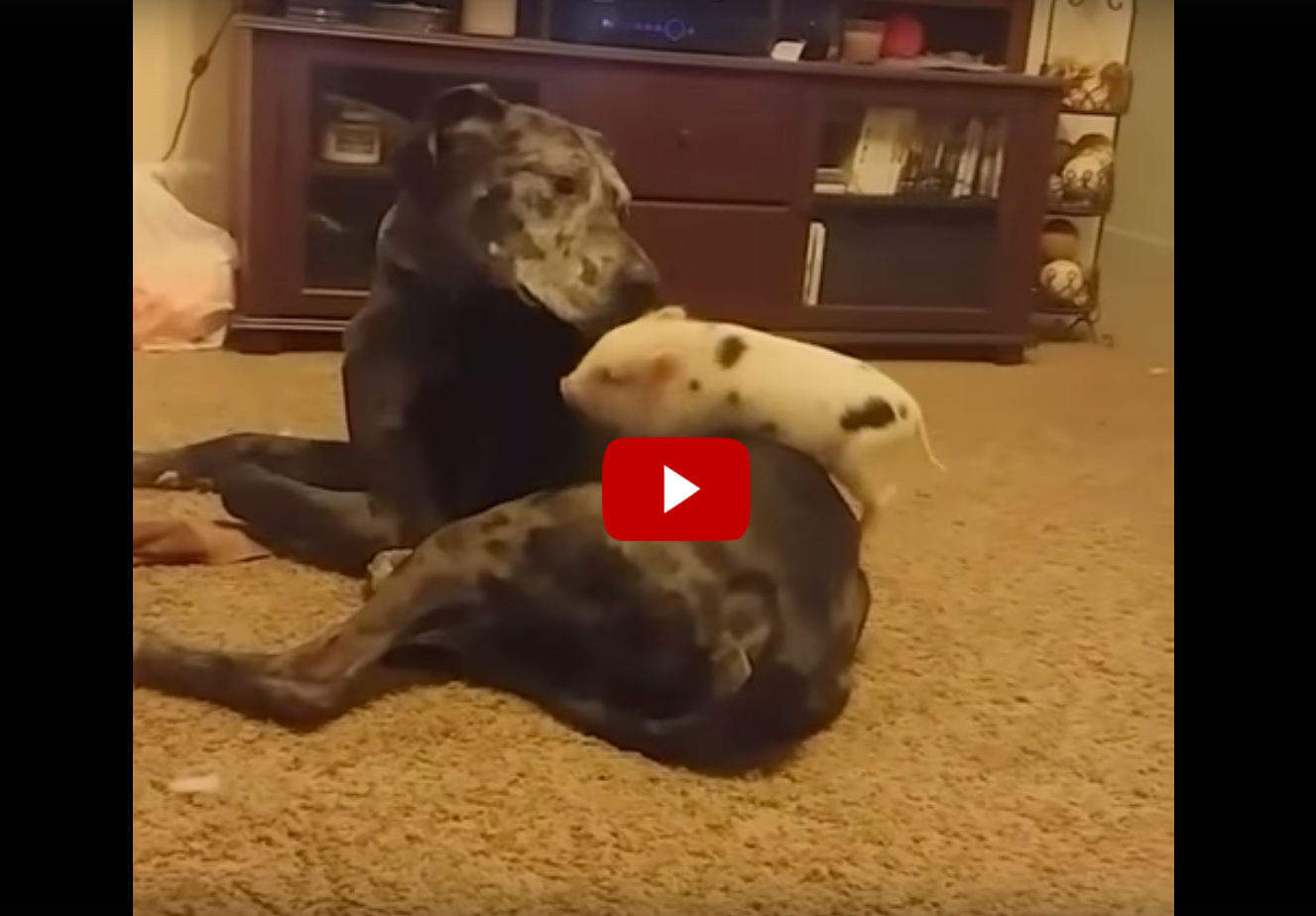 Mini Pig And Great Dane Animal Best Friends