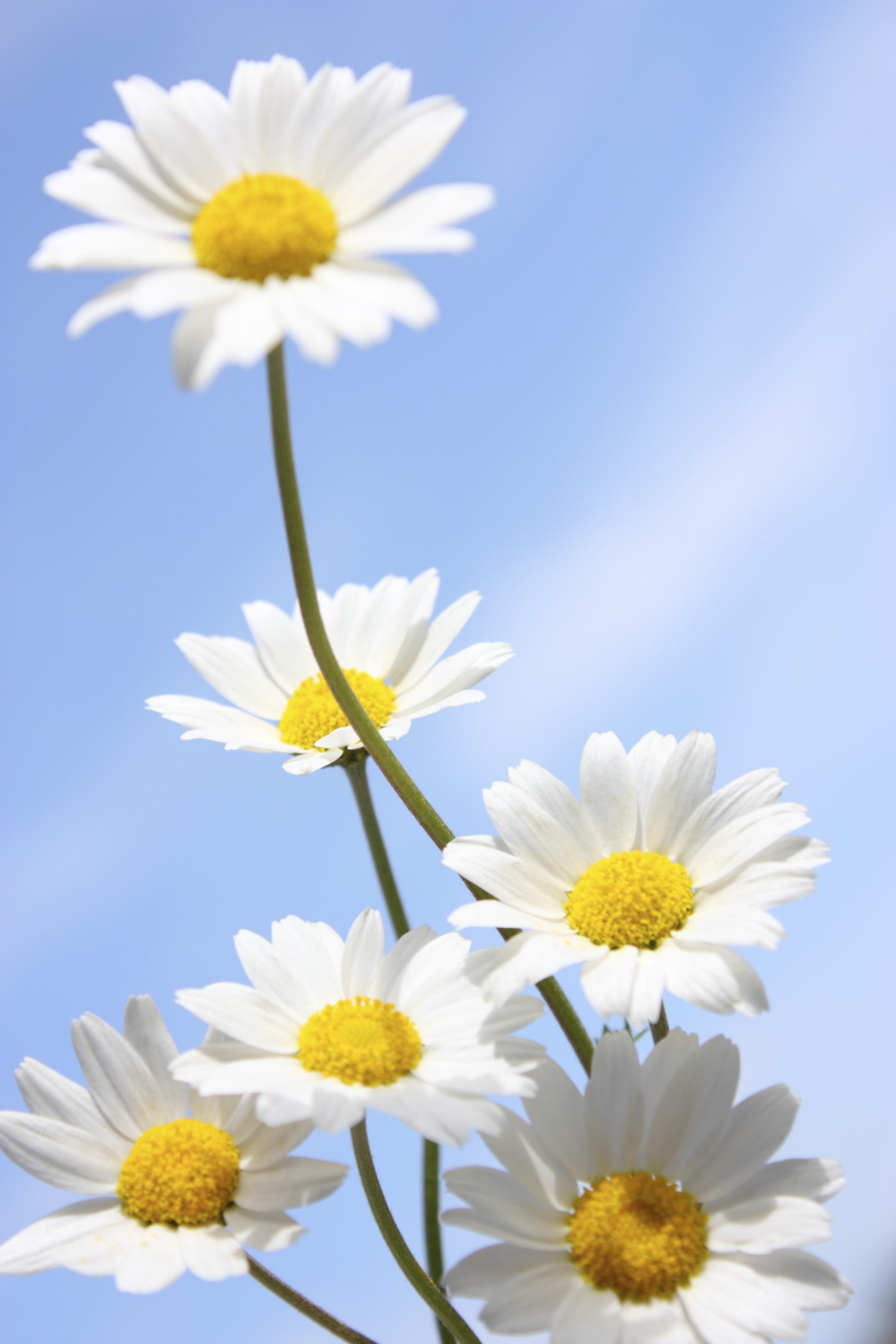 Things You Didn T Know About Daisies Daisy Fun Facts