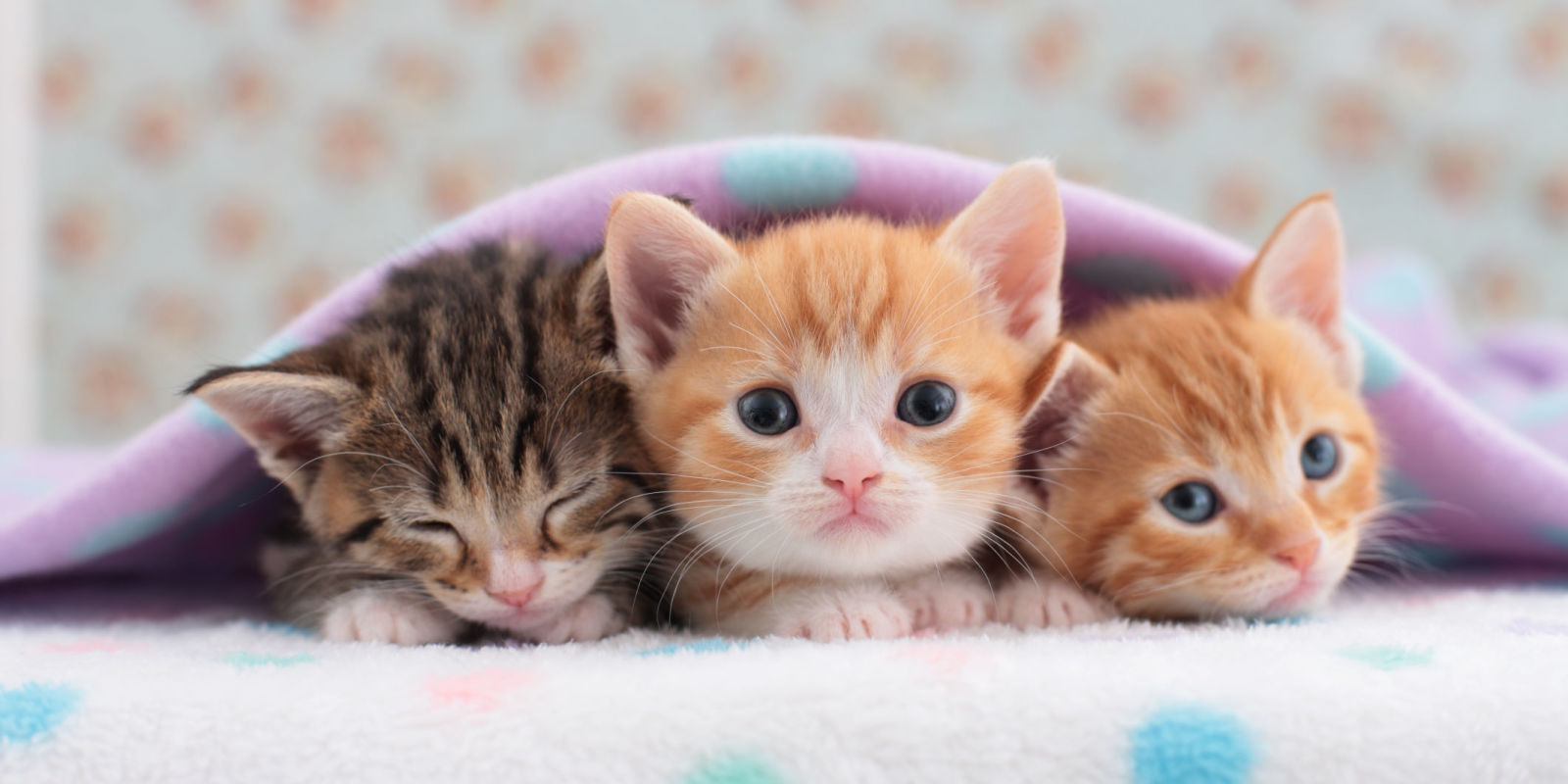 Cats That Stay Small Tiny Kittens For Your Home