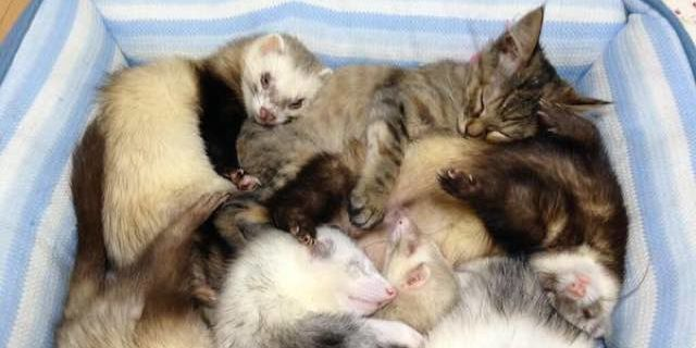 This Orphaned Kitten Was Raised With Ferrets And Now She