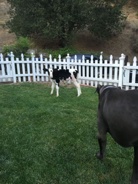 meet goliath the cow who thinks