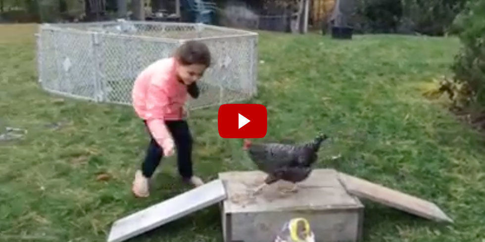 Agility Chicken Video Chicken Completes Obstacle Course