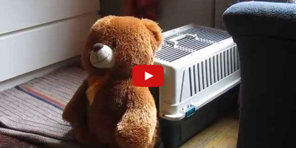 Tiny Dog Stuffs Giant Teddy Bear Into Crate Viral Dachshund Video - Guy uses photoshop to turn his miniature dog into a giant