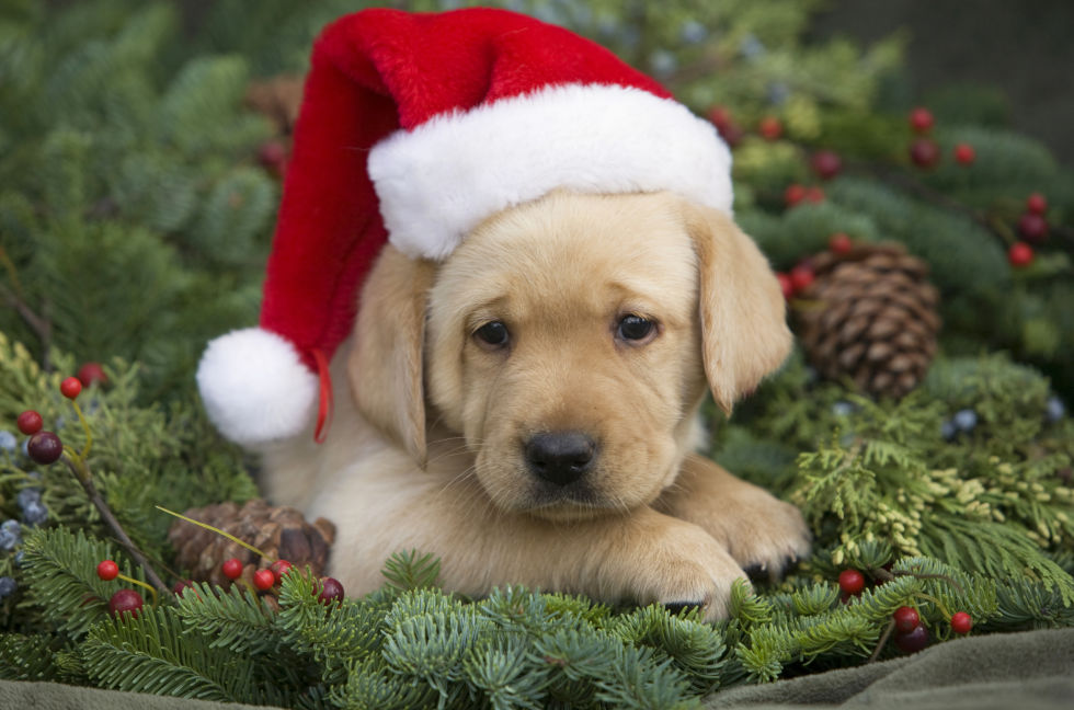 Cute Christmas Puppies - Cute Baby Animal Photos