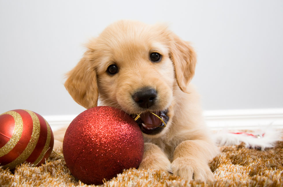 Group Of Christmas Puppies As