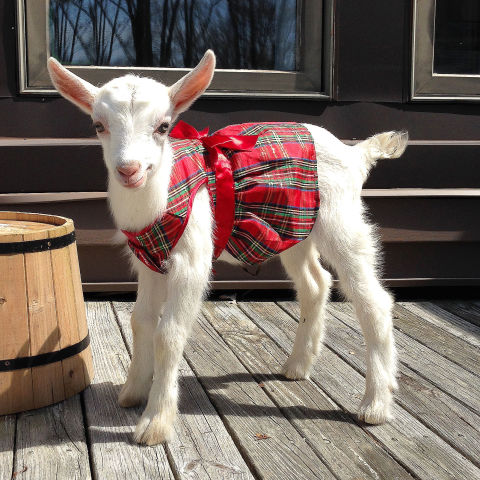 Goats Of Anarchy Instagram Cute Goat Photos