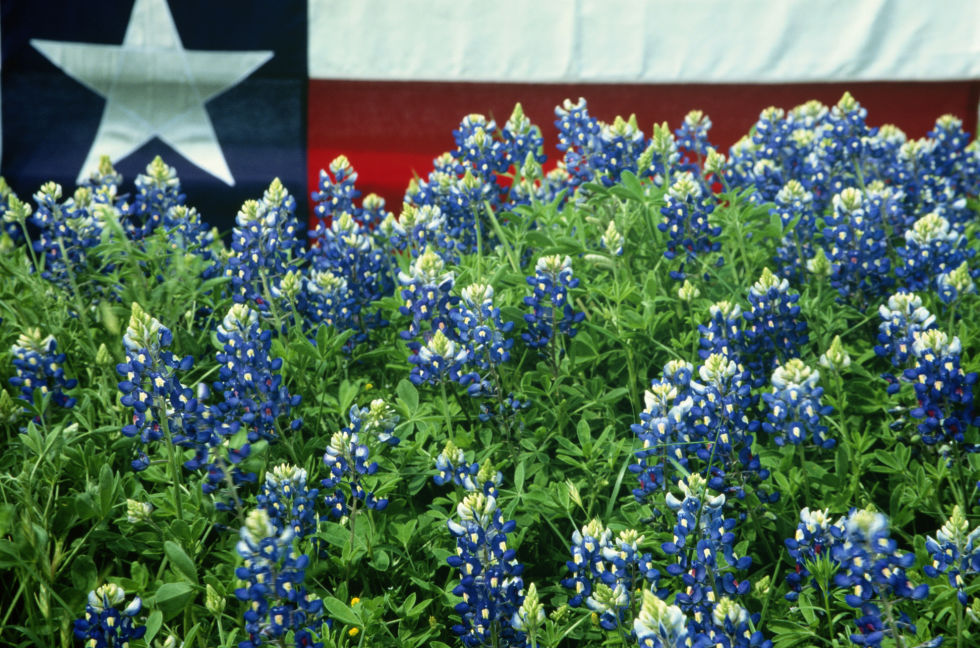 texas bluebonnets  bluebonnets fun facts and trivia, Beautiful flower