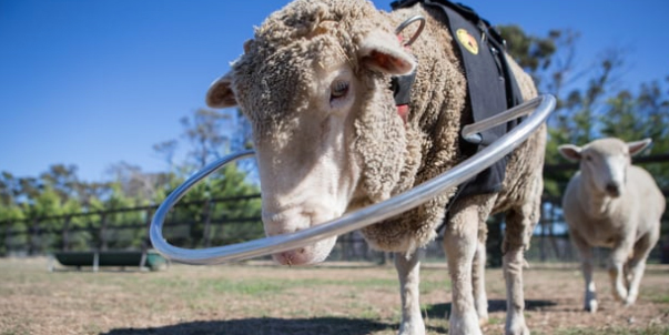 This Device Helps A Blind Sheep Halo Vest For Animals