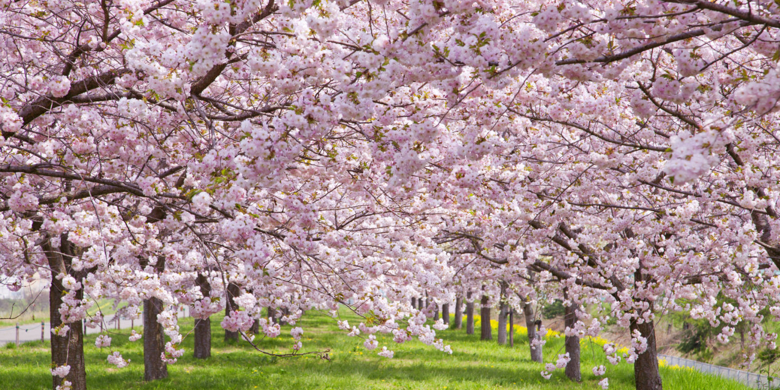 Cherry blossom trivia fun facts about cherry blossoms Cherry blossom pictures
