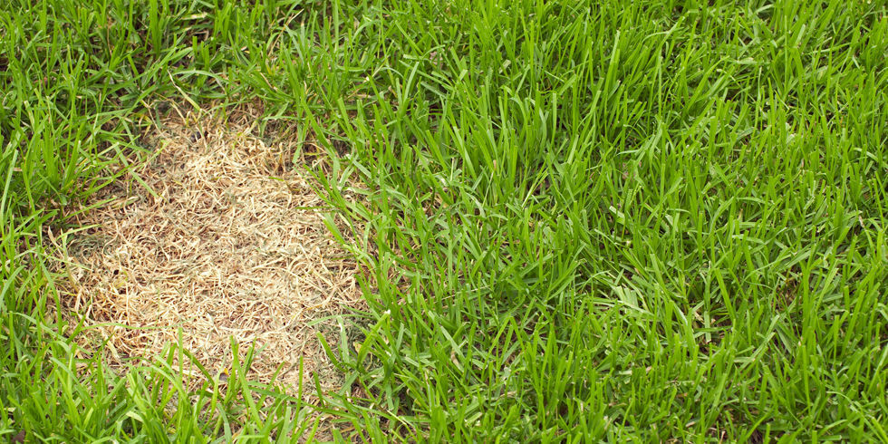 How to fix dog urine patches in grass how to repair your for How to fix dog urine spots on lawn