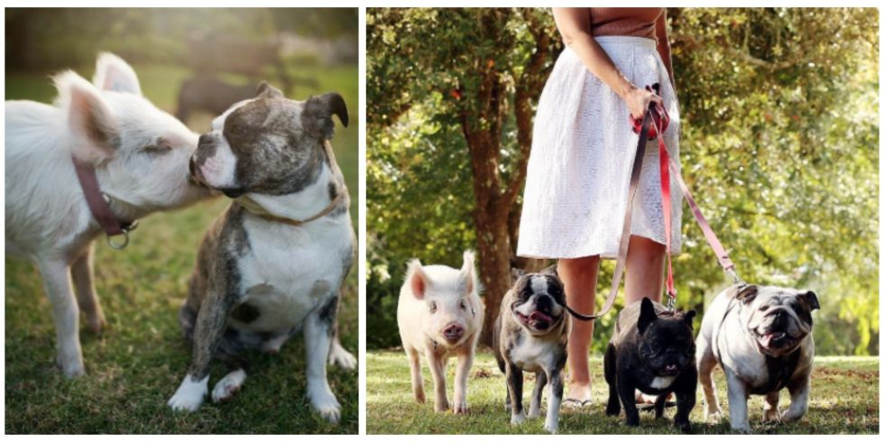 Pig Is Best Friends With Dog Siblings Abby Love Photography - Adorable pig whos grown up with dogs believes shes a puppy too