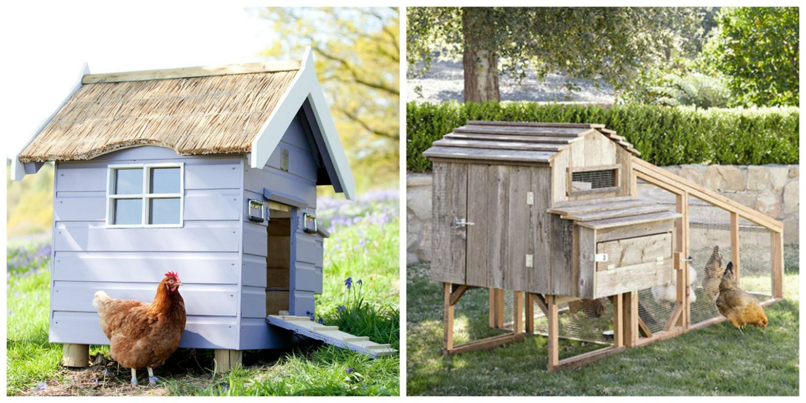 the city of austin is now paying people to keep backyard chicken coops
