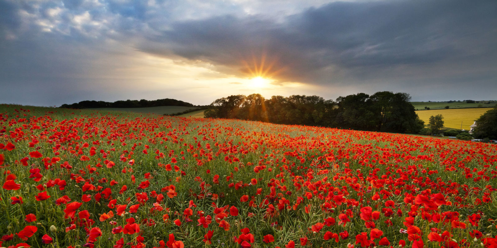 Poppy Flower Symbolism Of Red Poppies Country Living
