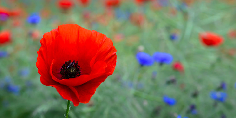 poppy flower  symbolism of red poppies, Natural flower