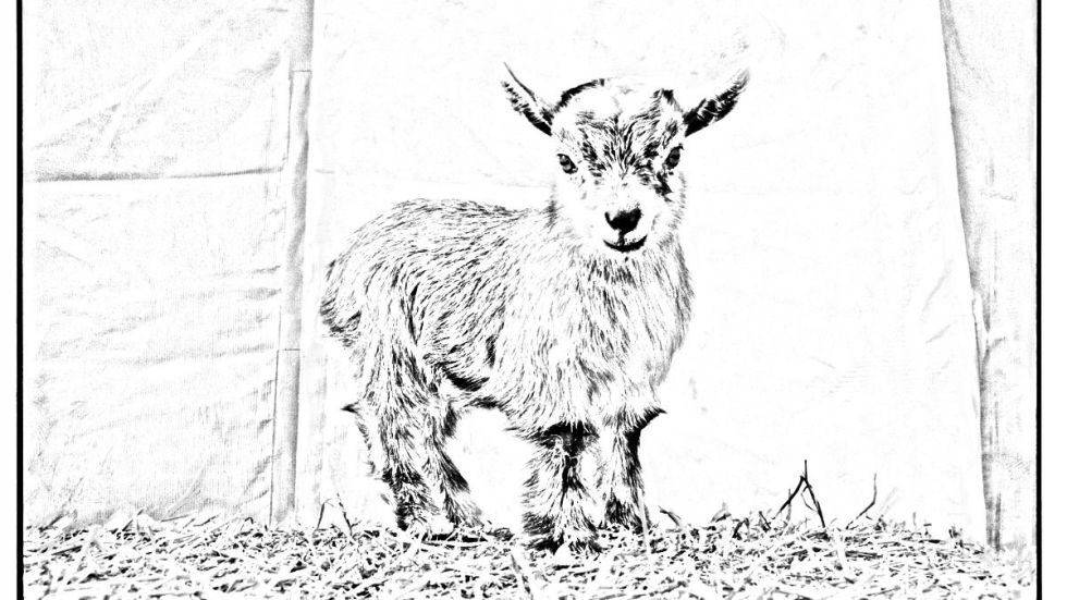Were Baffled That There Doesnt Seem To Be A Baby Goat Coloring Book Yet What Are People Waiting For