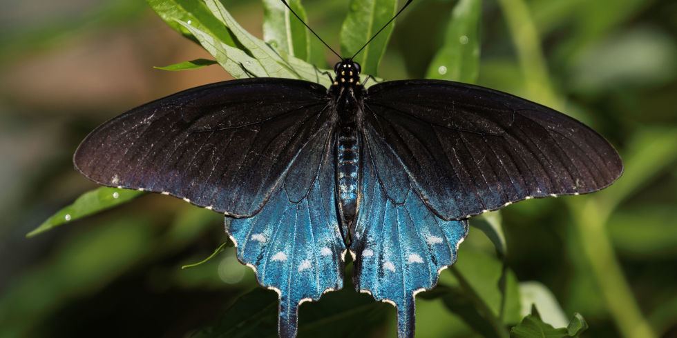 Man Repopulates Rare Butterfly Species How To Raise