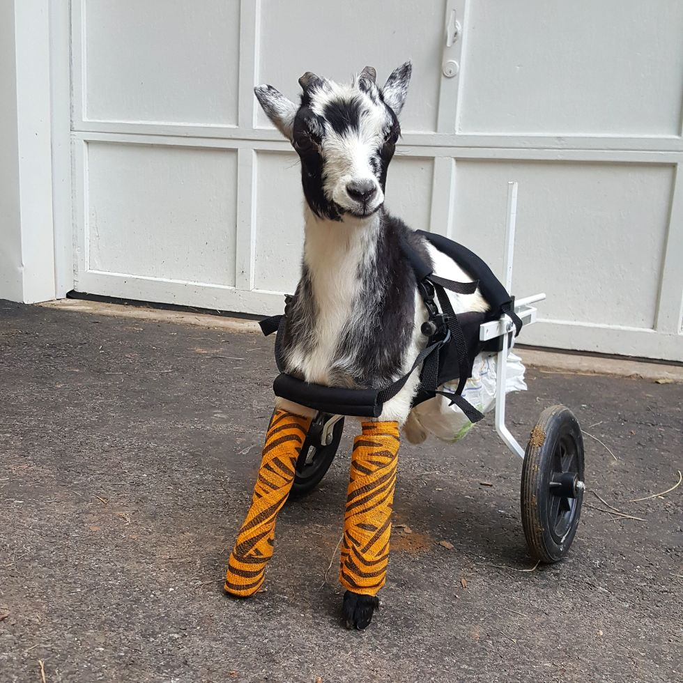goats of anarchy rescue story goat rescued from frostbite