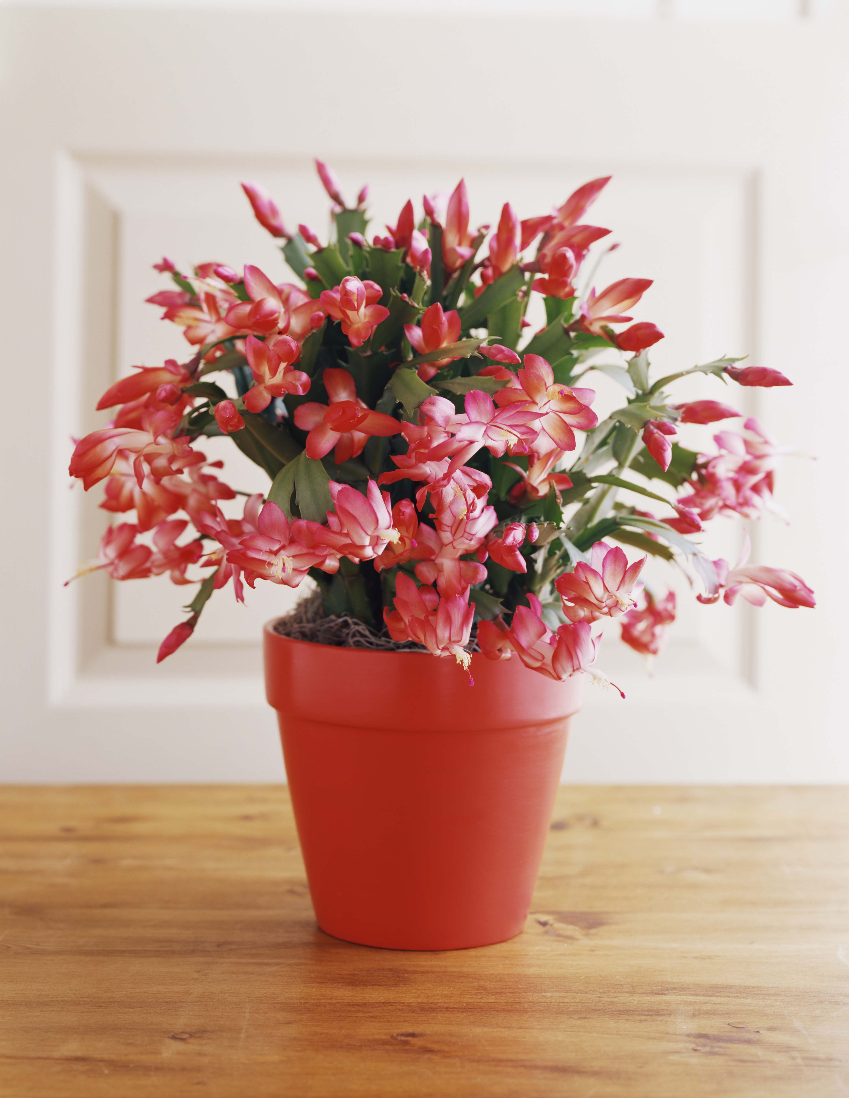 9 Best Christmas Plants - How to Care for Christmas Flowers