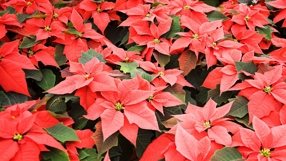 best christmas plants  how to care for christmas flowers, Beautiful flower