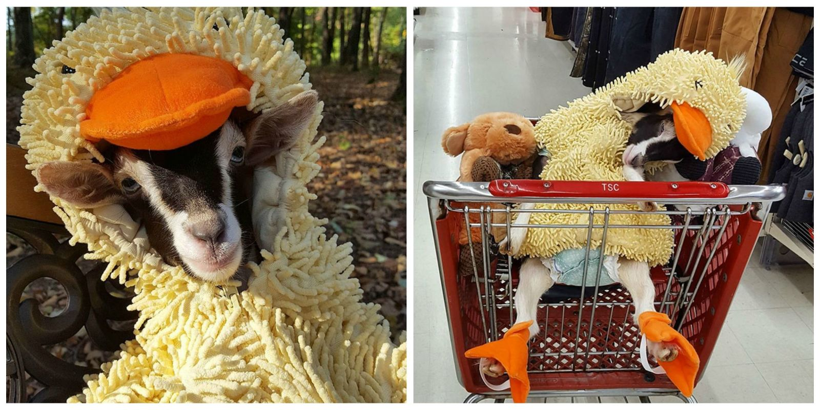 This Rescue Goat Wears A Duck Costume To Calm Down Goats Of Anarchy - Rescue goat suffers anxiety calms duck costume