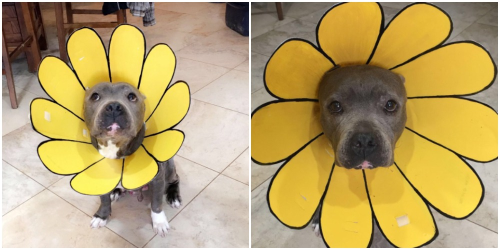 Diy projects with mason jars - Creative Mom Turns Dog S Cone Of Shame Into A Sunflower
