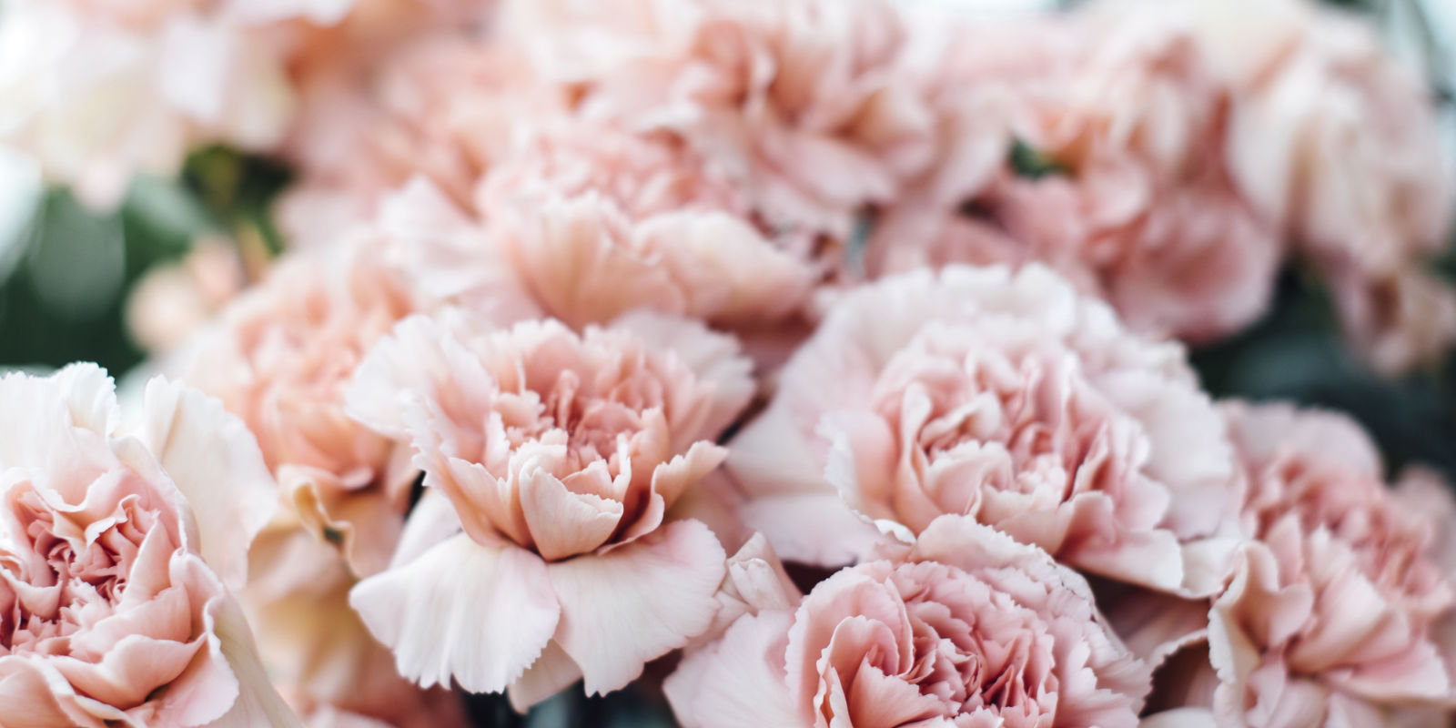 6 Reasons To Bring Back The Carnation Why Carnations