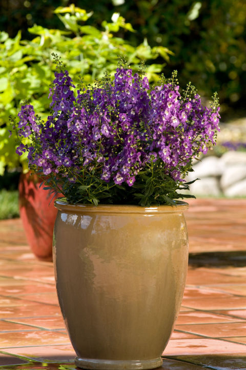 4 Angelonia - 10 Container Gardening Ideas - Best Plants For Containers