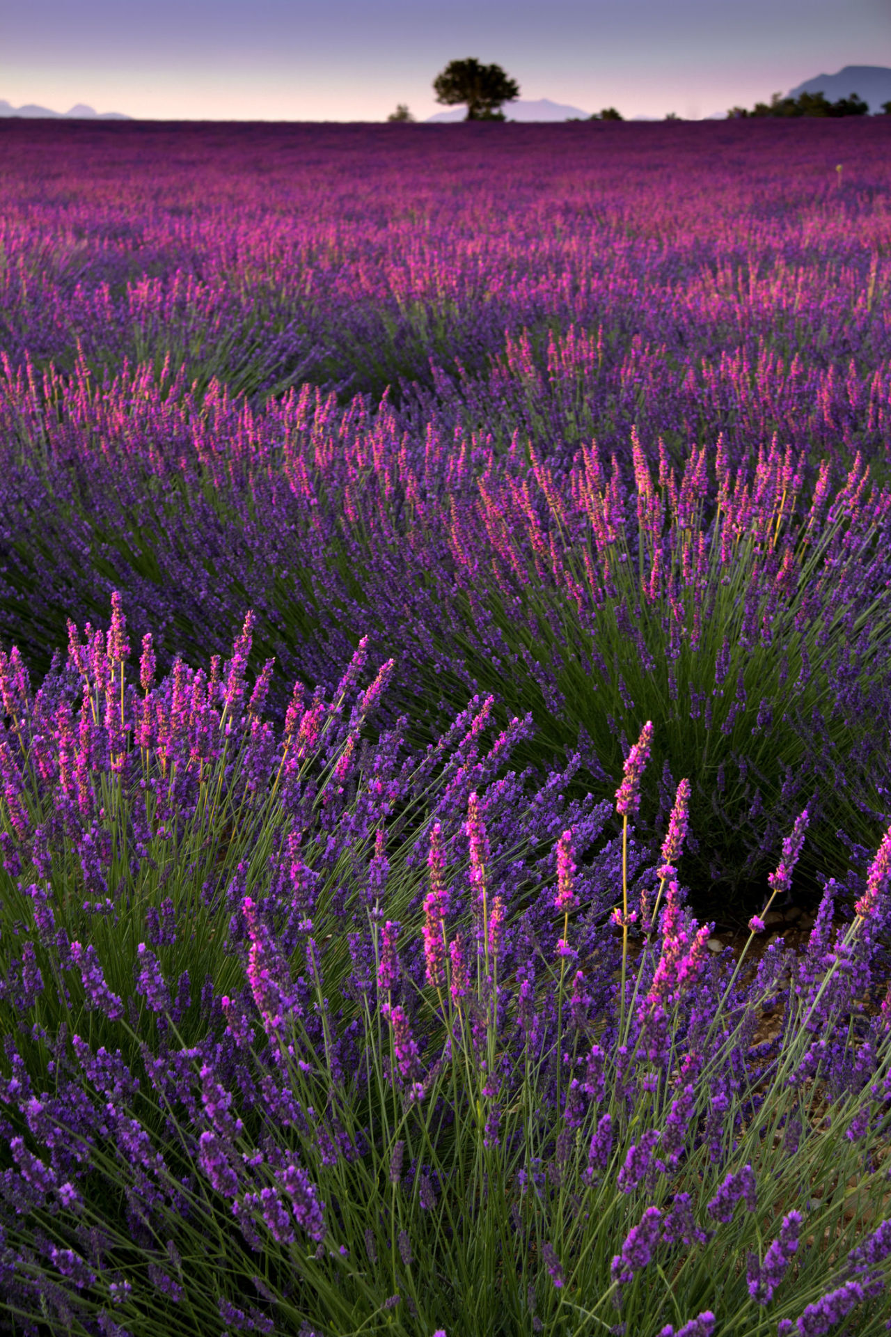 30 Great Lavender Plant Recipes and Uses - How to Grow Lavender