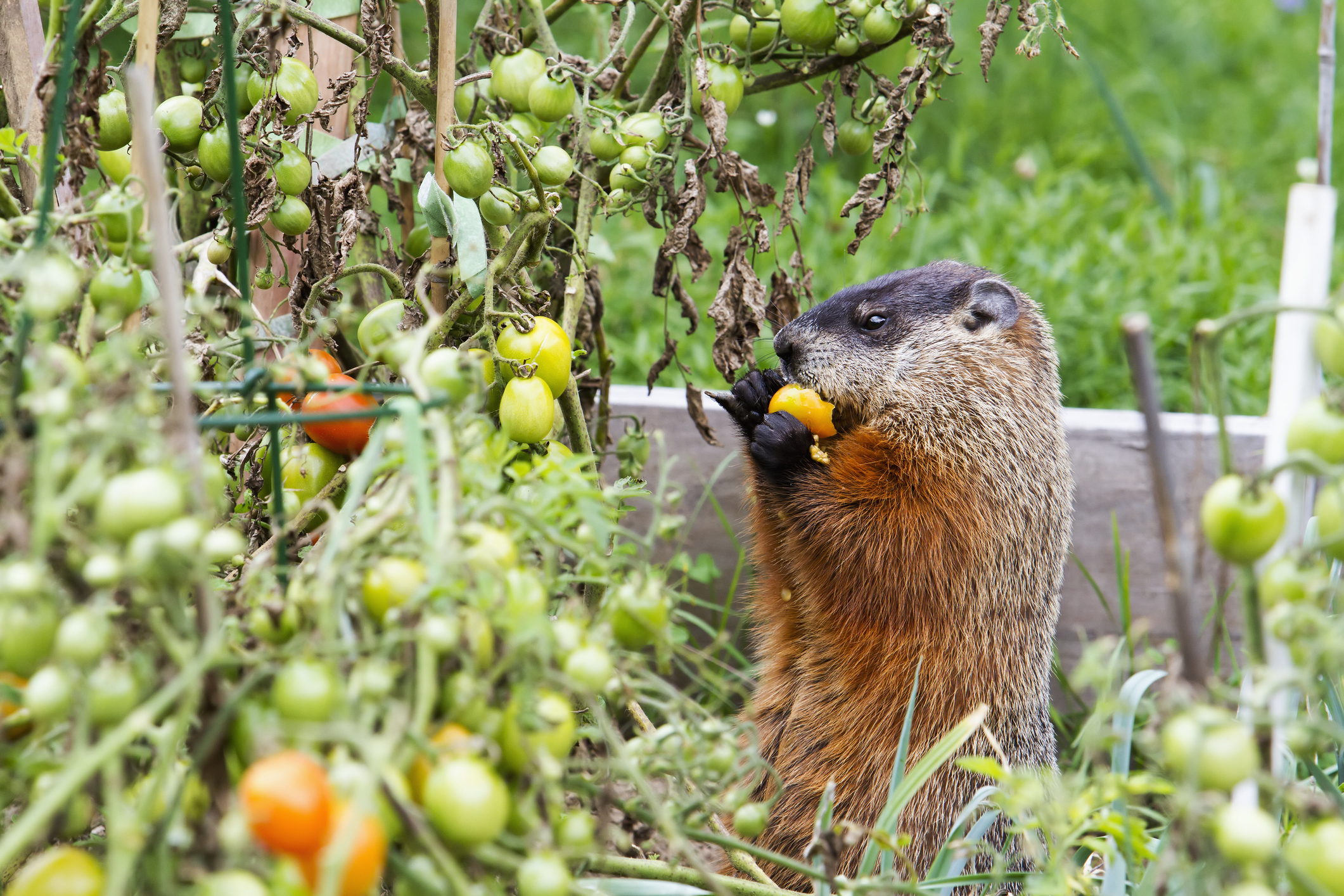 How to keep critters out of your garden ways to keep - How to keep animals out of your garden ...