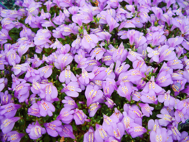 best ground cover flowers  plants  low growing perennial flowers, Beautiful flower