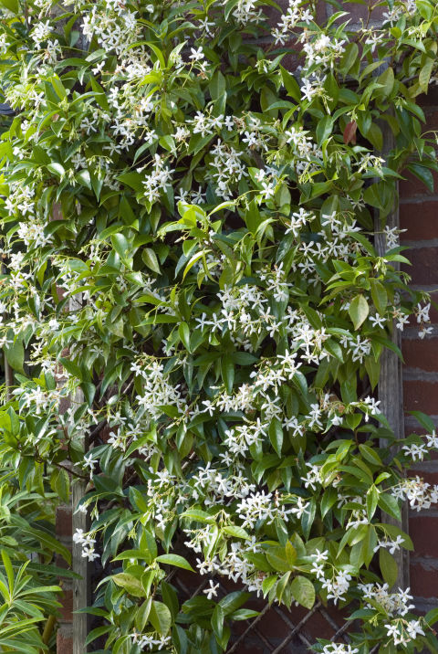 fast growing flowering vines  best wall climbing vines to plant, Natural flower