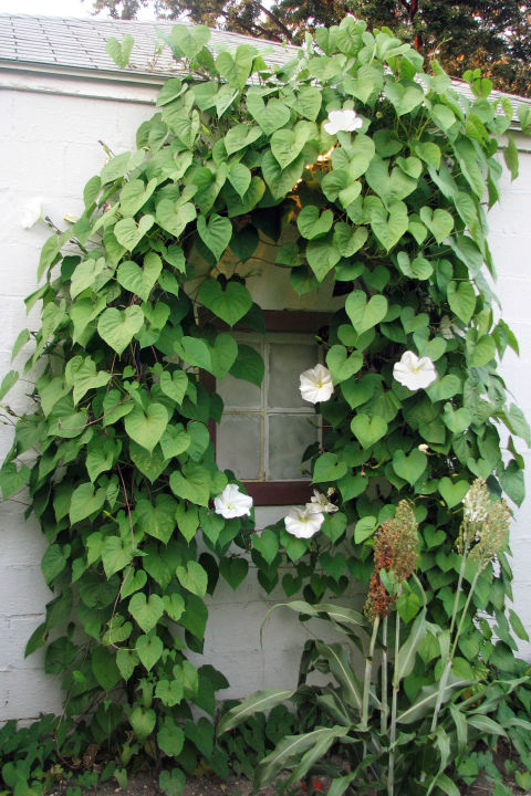 fast growing flowering vines  best wall climbing vines to plant, Beautiful flower