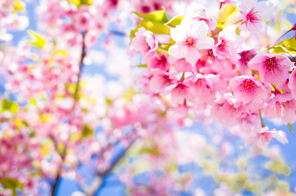 cherry blossom trivia  fun facts about cherry blossoms, Natural flower