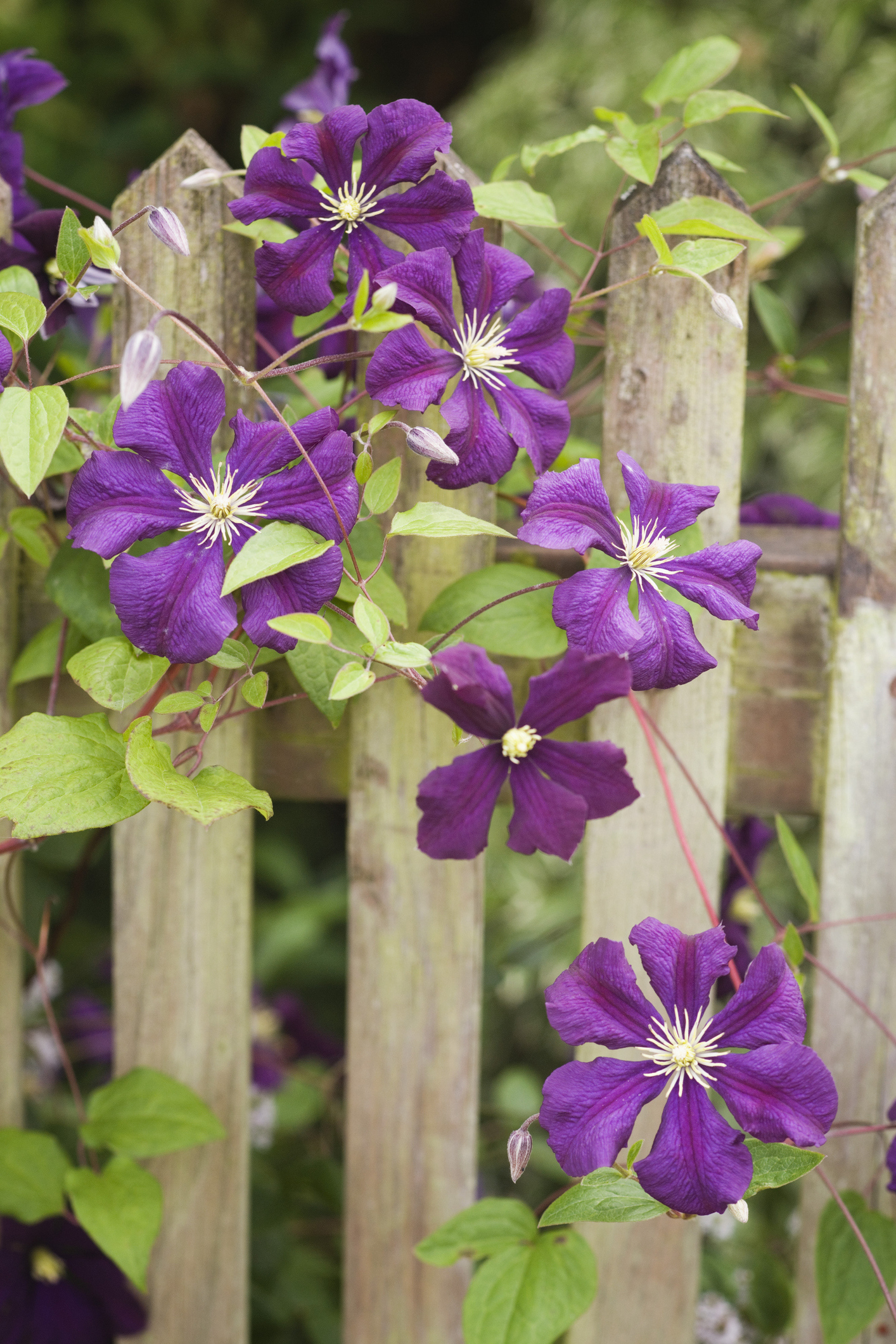 10 fast growing flowering vines best wall climbing vines to plant dhlflorist Images