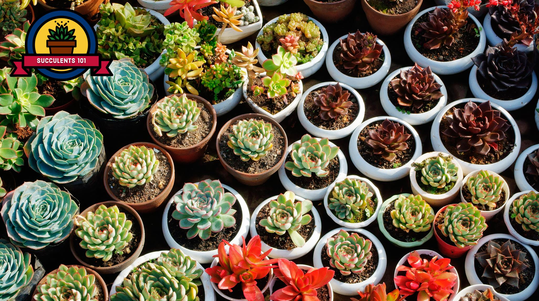 25 succulent plant types different kinds of succulents list. Black Bedroom Furniture Sets. Home Design Ideas