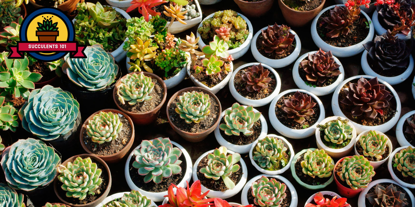 25 succulent plant types different kinds of succulents list for Different types of succulent plants